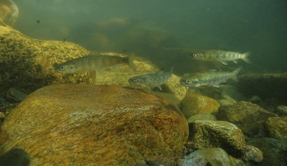 Wild smolts in a river. Angling lobby group S&TC has backed plans to track wild smolts off the west coast of Scotland. Photo: Bjoern Barlaup.