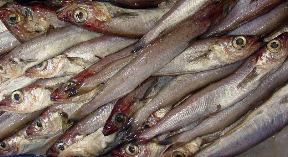 Kolmule brukes i dag mest som råstoff til fiskemel. Foto: Luis Miguel Bugallo Sánchez.