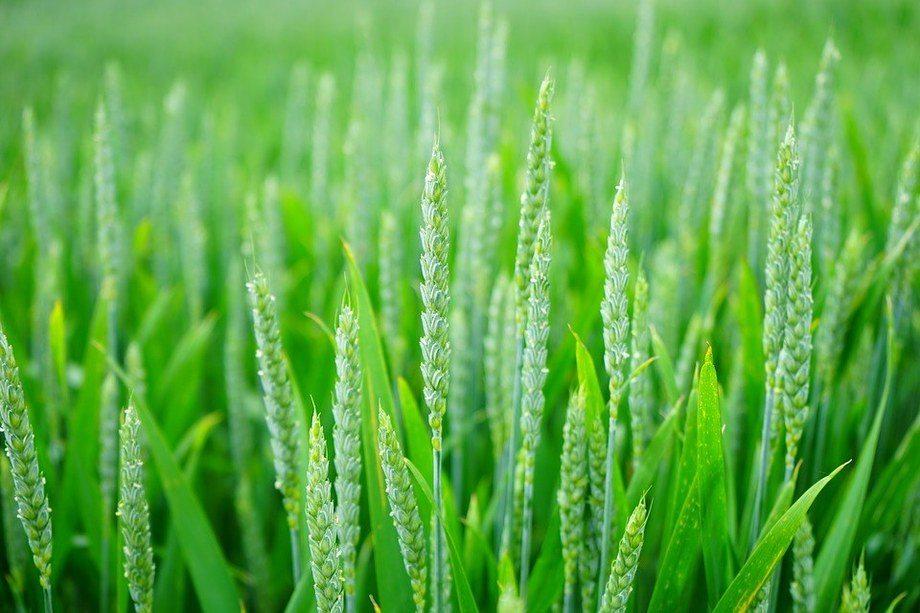 Imagen referencial de cultivo agrícola. Foto: Pixabay.