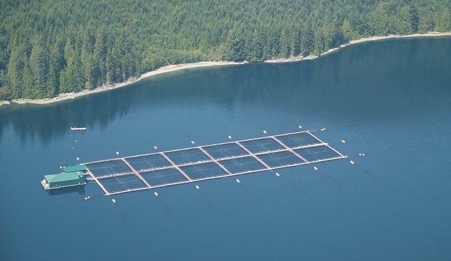 PRV is present in nearly all farmed Atlantic salmon on Canada's west coast. Photo: BCSFA.