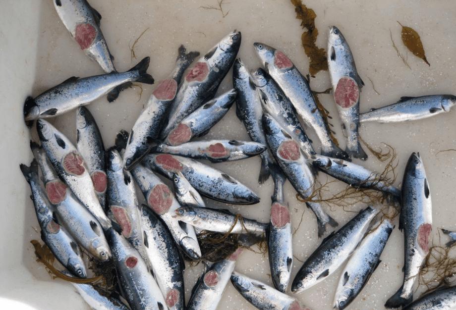 Klassiske runde vintersår på dødfisk som er sortert ut av merden. Illustrasjonsfoto: MarinHelse.