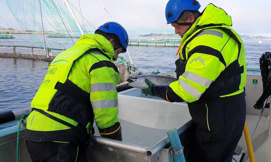 Fiskeriminister Harald Nesvik i arbeid hos Kvarøy Fiskeoppdrett. Foto: Nærings- og fiskeridepartementet