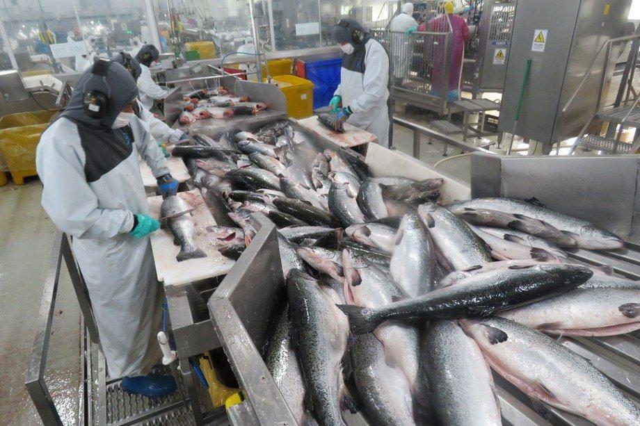 La actividad salmonicultura es la base de las exportaciones de la región de Los Lagos. Foto: Jonathan Garcés, Salmonexpert.