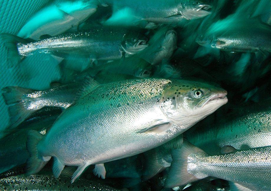 Imagen referencial de salmónidos. Foto: Rudolf Svensen.
