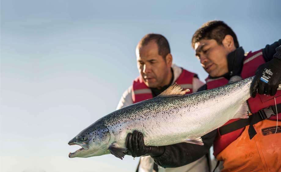 Imagen referencial de salmón. Foto: Yadran.