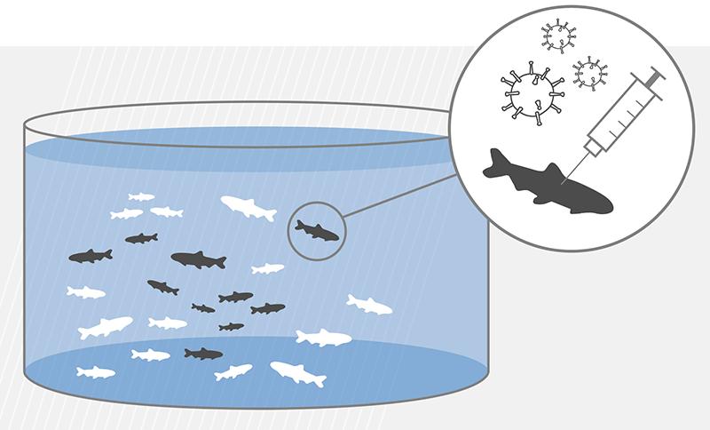 Ilustración de efectos de Protec en la salud de los peces. Foto: Skretting.