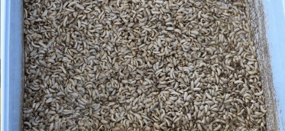 Larvas de mosca soldado negro. Foto: Archivo Salmonexpert.