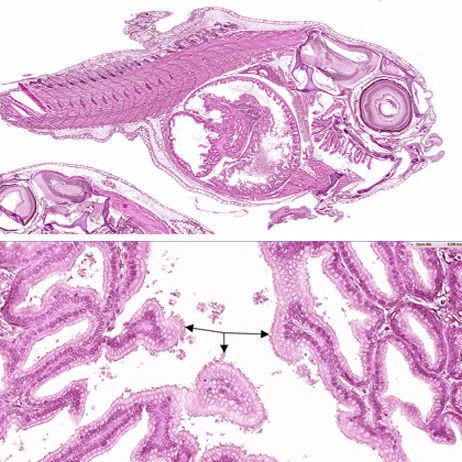 BILDE i topp: Begge virusene er isolerte fra rognkjeksyngel med høy dødelighet, der eneste funnet er utspilte tarmer med mye væske - noe som kan tyde på diare. BILDE i bunn: Nærbilde av tarmvegg som viser avstøting av celler, noe som tyder på en irritert tarm, og som er et klassisk funn ved diare. Foto: PHARMAQ Analytiq