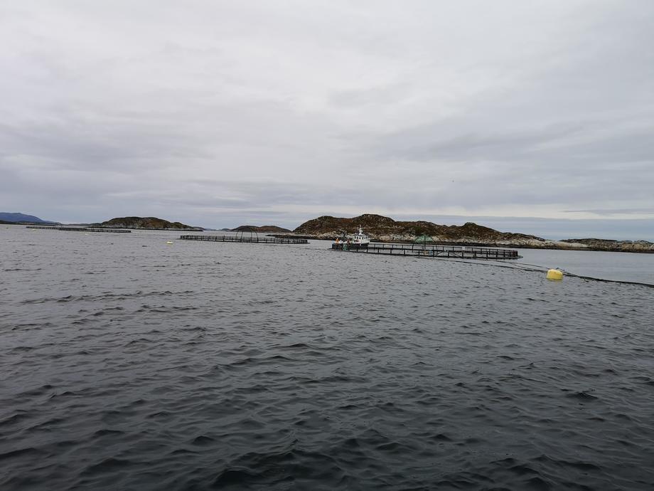 La floración de algas creó problemas para muchos productores de salmón en Noruega. Foto: Ole Andreas Drønen.