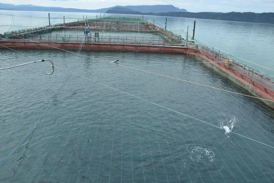 Telavåg Fiskeoppdrett har to konsesjoner for laks. Illustrasjonsfoto: Margarita Savinova.