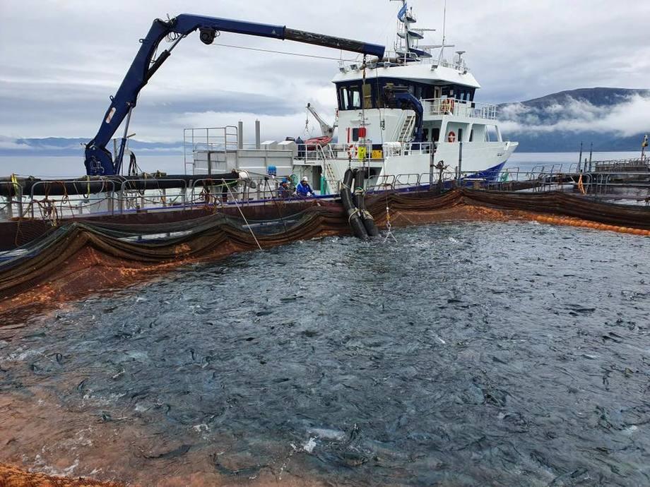Brønnbåten «Rohav» laster resten av laksen fra lokalitet Grunnsøya. Foto: E. Karstensen Fiskeoppdrett