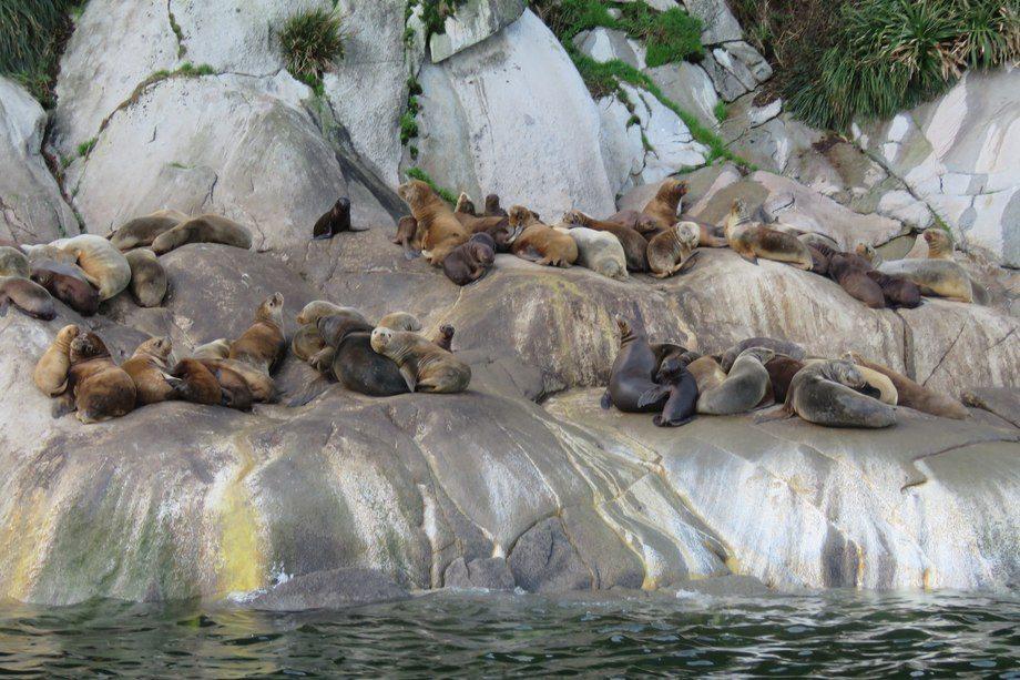 Imagen referencial de lobos marinos. Foto: Archivo Salmonexpert.