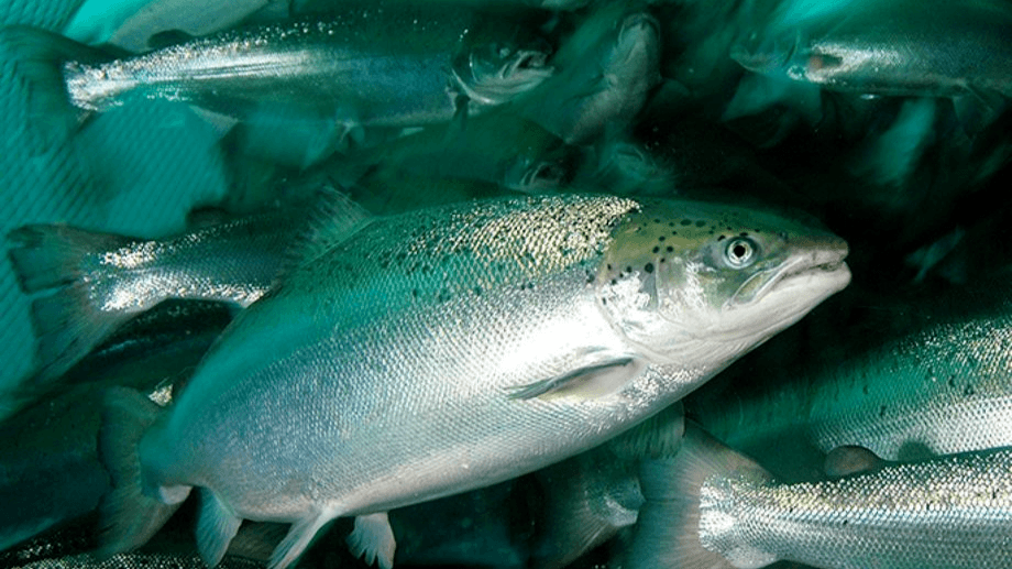 The salmon industry is net neutral if measured by the eFIFO method, says IFFO.