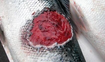 Lesión cutánea causada por T. dicentrarchi. Foto: MSD.