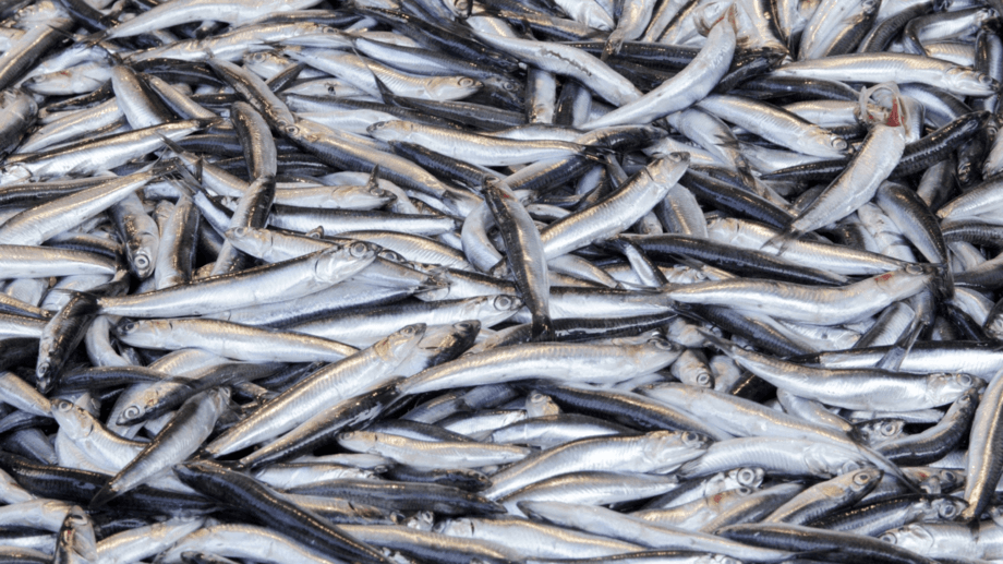 Stopping the use of forage fish