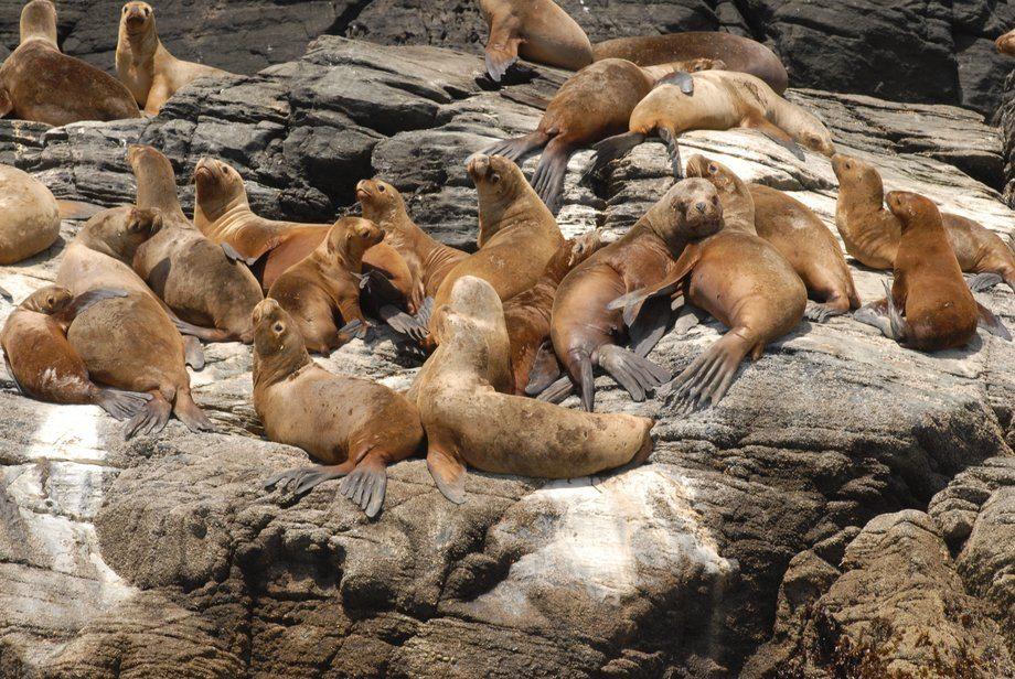 Diversas medidas a nivel gubernamental se están tomando para regular la interacción con mamíferos marinos. Foto: Subpesca.