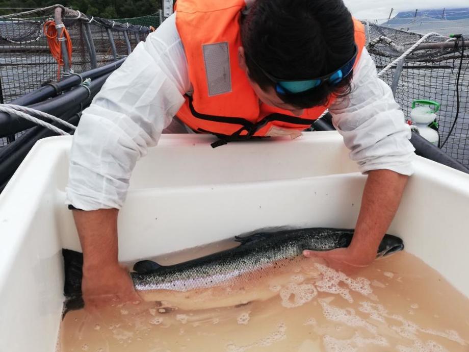 Baño de agua dulce a salmón con Caligus. Foto: Sernapesca.