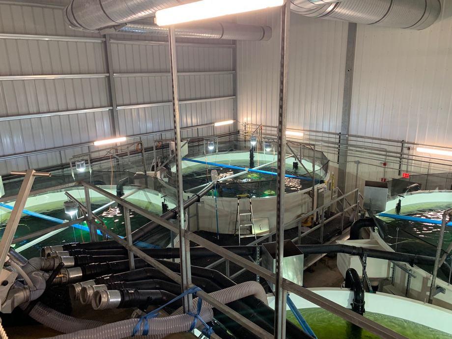 Primer grupo de salmón enviado a la fase de smolt en Atlantic Sapphire. Foto: Atlantic Sapphire.