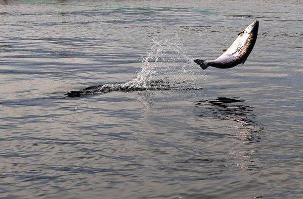 Fiskeridirektoratet har benyttet DNA-sporing i rømmingsaker og offentligjort tre rapporter som er utarbeidet av Havforskningsinstituttet på oppdrag fra Fiskeridirektoratet. Illustrasjonsfoto: Fiskeridirektoratet.