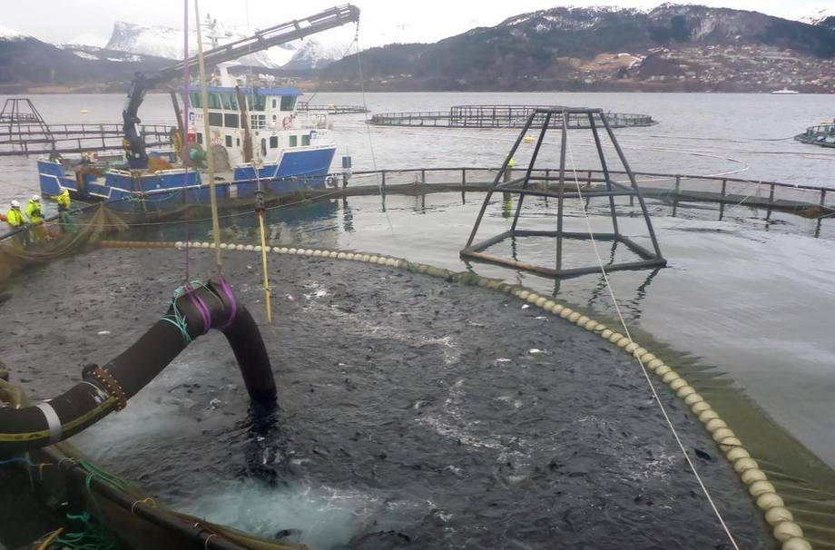 Lasting av fisk til brønnbåt. Foto: Didrik Vartdal / Fiskeridirektoratet.