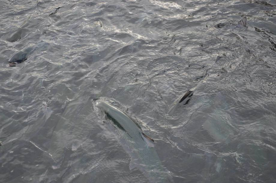 La Autoridad de Seguridad Alimentaria de Noruega señaló que se eliminarán los tratamientos térmicos para el salmón, a menos que se demuestra que se pueden usar de manera adecuada. Foto: Therese Soltveit.