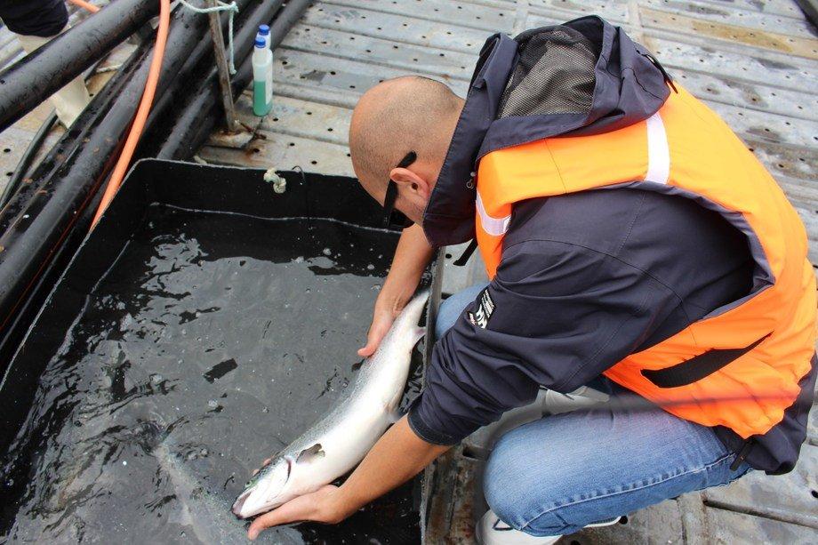 Evaluación de Caligus en salmones. Foto: Sernapesca.