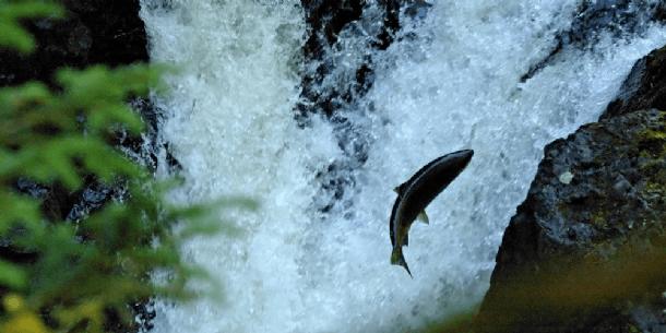 Sjømat Norge fortellert at de ønsker jobber svært målretter for å forhindre rømming, og at de bidrart til utfisking av rømt fisk i elver. Foto: