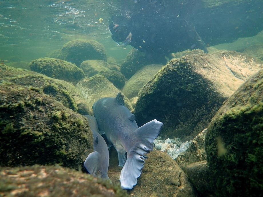 Forskere i LFI (Laboratorium for ferskvannsøkologi og innlandsfiske) i NORCE dykker hver høst i 56 lakseelver for å telle antall gytefisk. Forsker Helge Skoglund som ledet arbeidet er en av dem. Foto: LFI (Laboratorium for  ferskvannsøkologi og innlandsfiske) i NORCE.