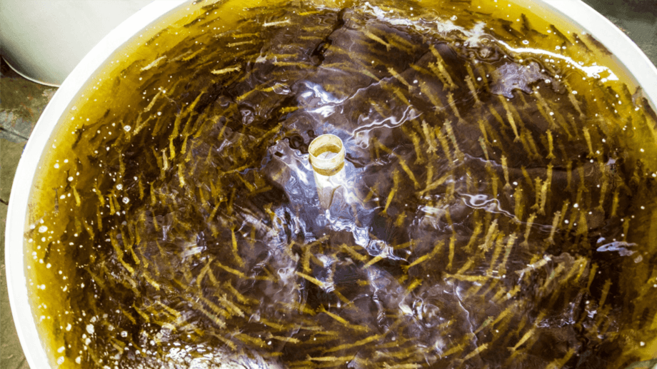 Shrimp swimming in a tank at AquaMaof's R&D centre in southern Israel. Photo: AquaMaof.