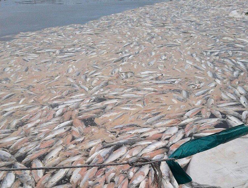Imagen referencial de mortalidad masiva de salmónidos. Foto: Fundación Terram.