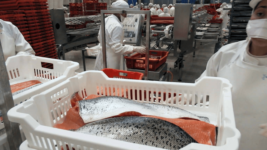 Referential image of fresh Chilean salmon for export. Photo: Salmonexpert file.