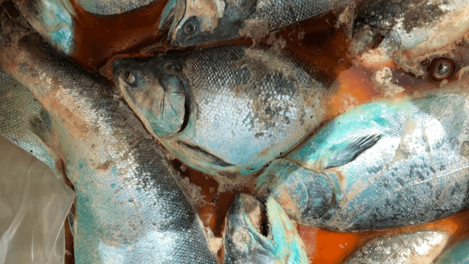Salmon workers are concerned about the pollution that could be generated in Quellón Bay due to fish mortality. Photo: National Coordinator of the Salmon Industry and Related Branches.