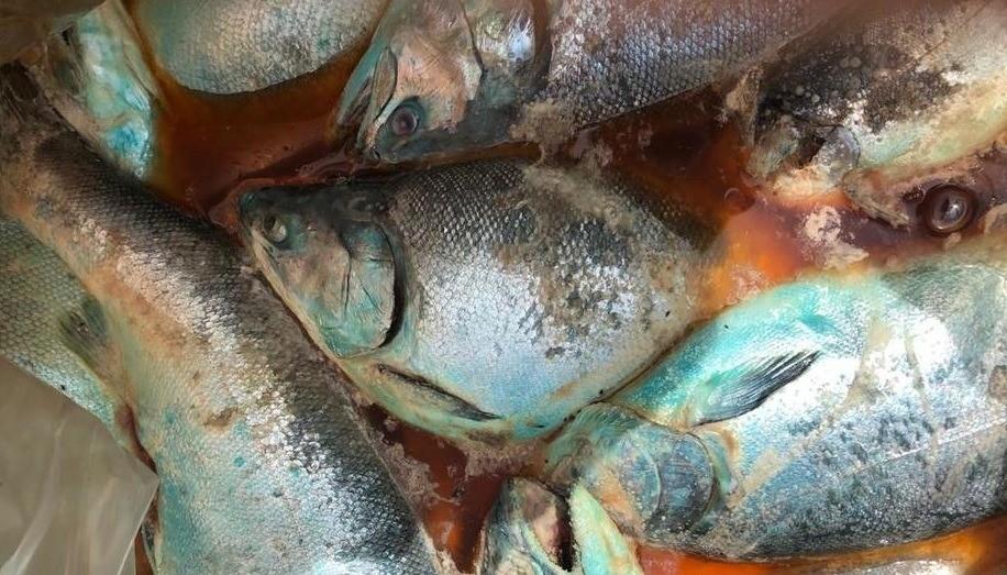 Slakteklar fisk dør i påvente av å bli prosessert, fordi arbeiderne er utestengt som følge av de store protestene i Chile. Foto: Coordinadora Nacional de la Industria Salmonera y ramas afines.