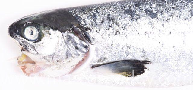 Salmón Atlántico afectado por un cuadro clínico de Tenacibaculosis. Foto: Marcos Godoy.