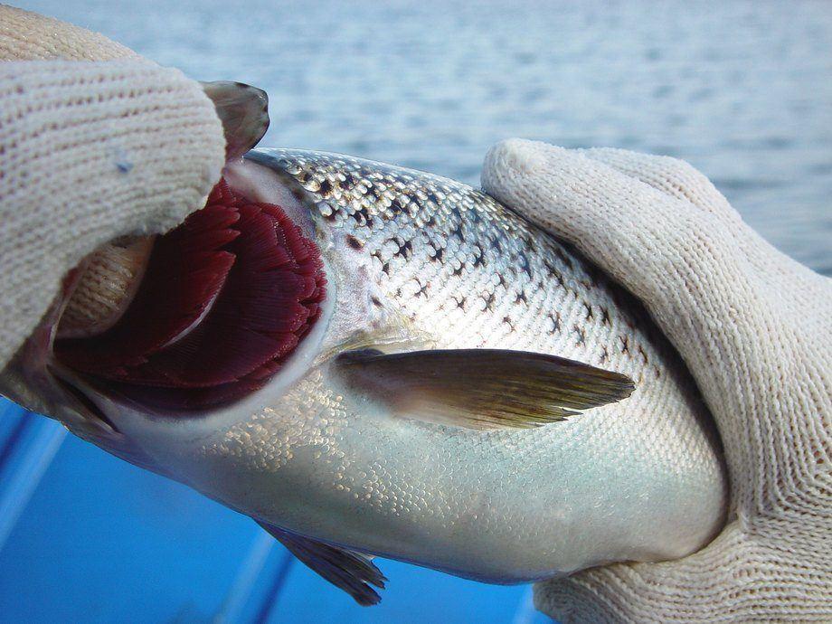 La salud de las branquias es una preocupación importante para los productores de salmón en todo el mundo. Foto: Archivo Salmonexpert.