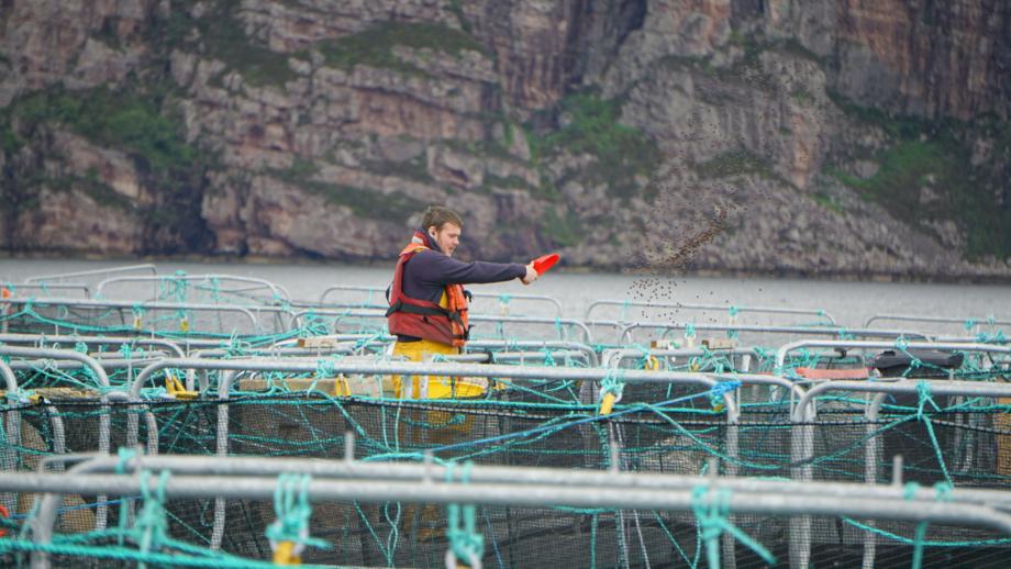 Wester Ross Fisheries employee Matthew Ross hand-feeding salmon. Photo: Wester Ross Fisheries.