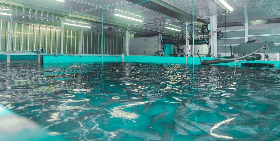 Lubinas nadando dentro del prototipo Seawater Cube. Foto: Seawater Cube.
