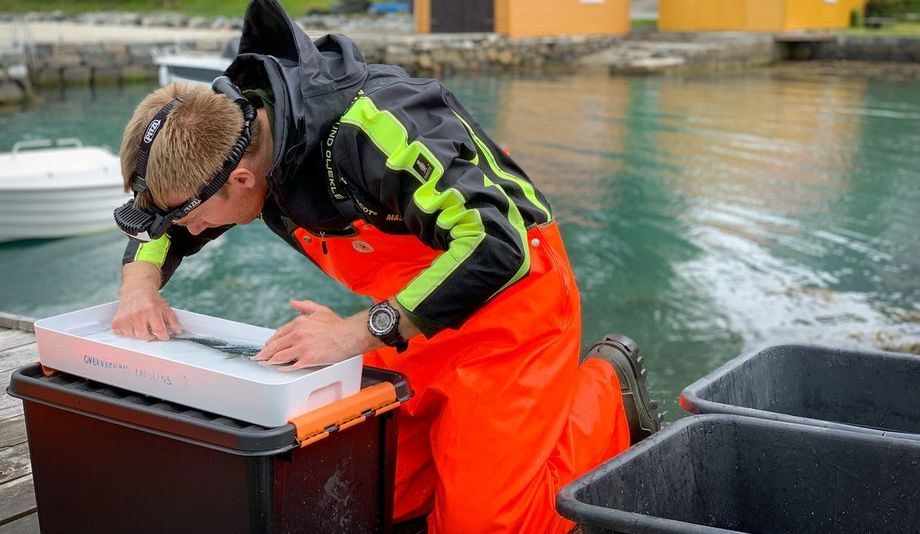 I lakselusovervåkingen på villfisk, fanger forskerne laksefisk i ruser og trål. De teller blant annet lus, og tar genprøve av fisken. Her i Rosendal.  Foto: Stine Hommedal / Havforskningsinstituttet