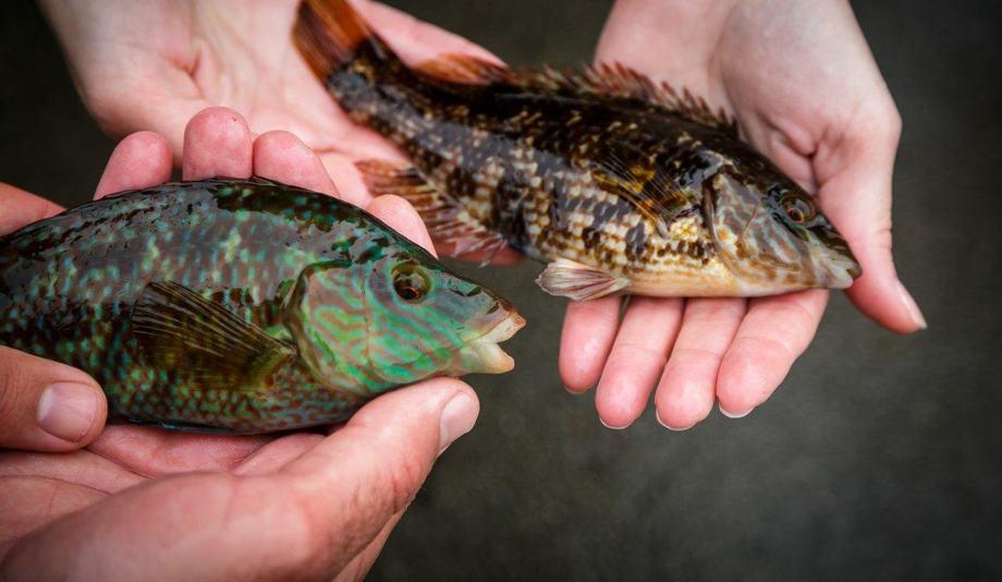 To eksemplar av grønngylt - hannen er den grønne til venstre, og rødlig hunn til høyre. Foto: Erlend A. Lorentzen/HI
