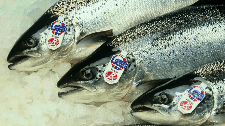 Scottish Label Rouge salmon destined for France. Exports have risen this year in line with a volume recovery. Photo: SSPO.