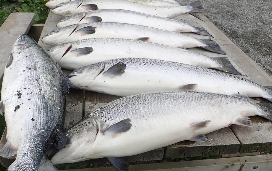 Illustrasjonsfoto av rømt laks. Foto: Tor EgilHolmedal/Fiskeridirektoratet.