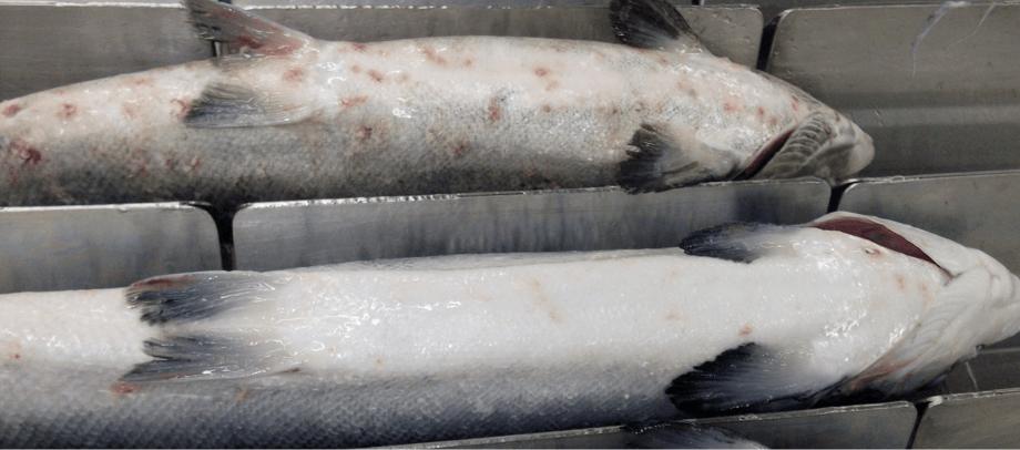 Imagen referencial de salmónidos con erosiones producto de Caligus. Imagen: Archivo Salmonexpert.
