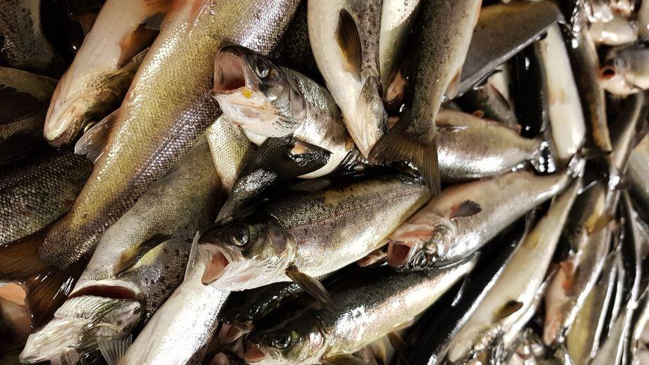 Forskere ved Veterinærinsuttet har funnet ut at settefisk som har laksepox-virus ekstra forsikting. Foto: Mona Gjessing.