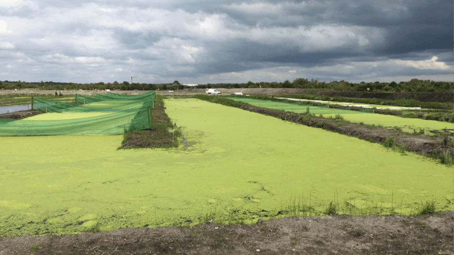 A view of the duckweed and algae ponds where the fish farm water is cleaned and oxygenated. Photo: BIM.