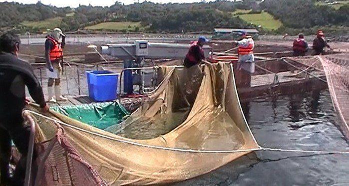 Sistema Shock Out siendo aplicado en el centro de cultivo Puerto Haro de Salmones de Chile. Foto: Indesol.