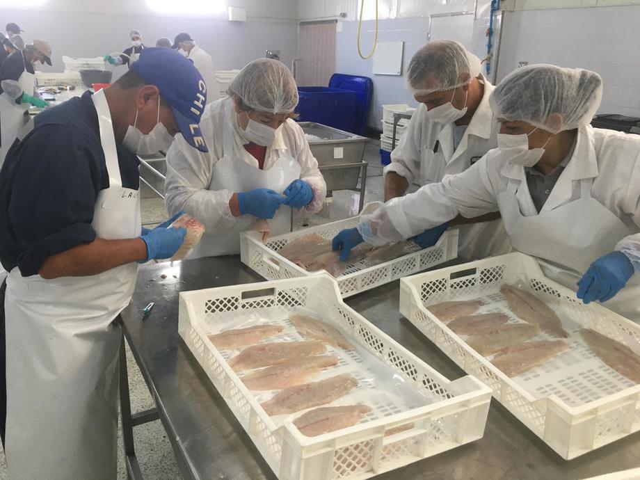 Cultivo de corvina se realizó 100% en base a un sistema de recirculación. Foto: Fundación Chile.