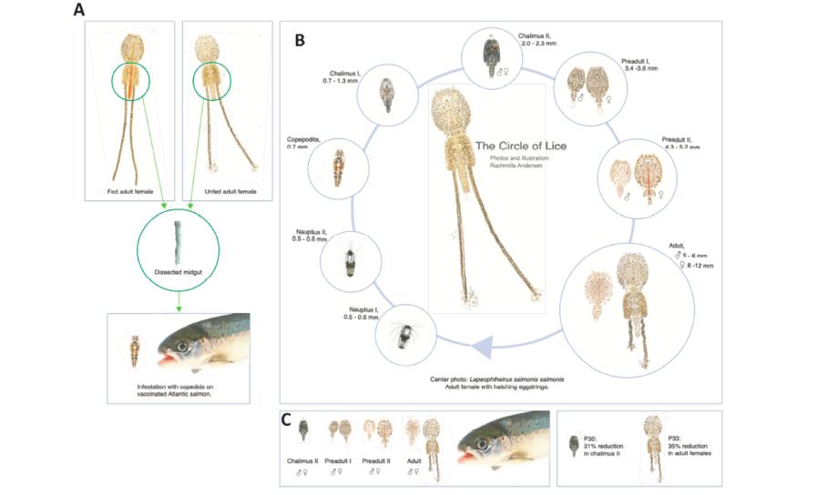 Las proteínas candidatas fueron seleccionadas desde el intestino medio de hembras adultas alimentadas y no alimentadas. Fuente: Contreras y col., 2020.