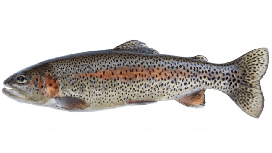 Cooke's plans to farm all-female, sterile rainbow trout in Puget Sound are being challenged by NGOs. Image: Cooke.