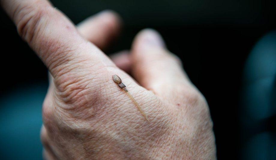 Lakselusa påfører laksefisk skade ved å spise av slim, skinn og blod. Omfanget av lakselus har økt betraktelig i takt med veksten i oppdrettsnæringen.  Foto: Christine Fagerbakke/Havforskningsinstituttet