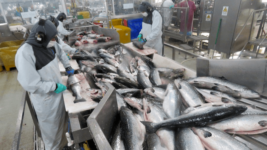 Atlantic salmon accounted for 73.2% of salmon farming during 2019. Photo: Salmonexpert archive.
